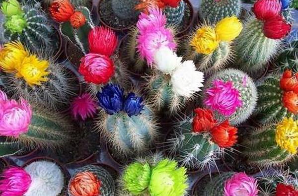 кактусы с яркими цветами