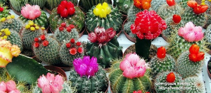 Цветущие кактусы защищают от старости и болезней
